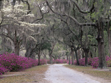 Road Lined with Azaleas and Live Oaks, Quercus Virginiana, Draped with Spanish Moss Photographic Print by Adam Jones