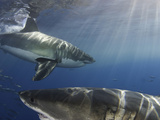 Great White Sharks (Carcharodon Carcharias), Guadalupe Island, Mexico Photographic Print by David Fleetham