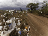 Shrubs and Trees Filled with Plastic Bags Downwind from a Landfill on the Island of Maui Photographic Print by David Fleetham