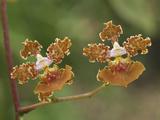 Orchid Flowers (Oncidium Altissimum), Belize Photographic Print by Thomas Marent