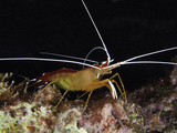 Scarlet Cleaner Shrimp (Lysmata Amboinensis), Hawaii, USA Photographic Print by David Fleetham