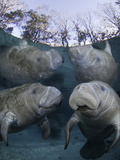 Endangered Florida Manatee,Three Sisters Spring in Crystal River Photographic Print by David Fleetham