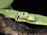 Western Bush Viper (Atheris Chlorechis), Captive Photographic Print by Michael Kern