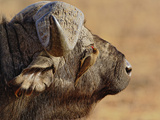 African Buffalo (Syncerus Caffer) with Red-Billed Oxpecker Photographic Print by Adam Jones