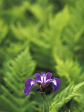Blue Flag Iris, Iris Versicolor, Nestled Among Ferns, Unalaska Island, Alaska Photographic Print by Chris Linder