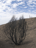 Chaparral Burned by 2007 Poomacha Wildfire on Palomar Mountain, San Diego County, California, USA Photographic Print by Michael Johnson