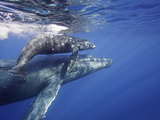 Humpback Whale Mother and Calf (Megaptera Novaeangliae), Maui, Hawaii, USA Photographic Print by David Fleetham
