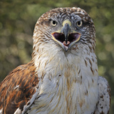 Ferruginous Hawk (Buteo Regalis), Captive Photographic Print by Michael Kern