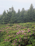 Catawba Rhododendrons on Roan Mountain,  Overlooking the Cherokee National Forest Photographic Print by Adam Jones