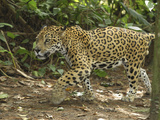 Jaguar Walking (Panthera Onca), Belize Photographic Print by Thomas Marent