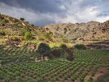 Vineyard, Crete, Greece Photographic Print by Adam Jones
