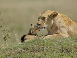 Lioness and Young Cub (Panthera Leo), Masai Mara Game Reserve, Kenya, Africa Photographic Print by Adam Jones