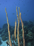 Trumpetfish (Aulostomus Maculatus) Camouflaged Among Rope Sponges (Aplysina), Bonaire, Caribbean Photographic Print by David Fleetham