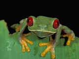 Red-Eyed Tree Frog (Agalychnis Callidryas), Cahuita National Park, Costa Rica Photographic Print by Thomas Marent