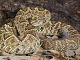 South American Rattlesnake (Crotalus Durissus Terrificus) Captive Photographic Print by Michael Kern