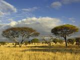 Umbrella Thorn Acacia (Acacia Tortilis), Tarangire National Park, Tanzania, Africa Photographic Print by Adam Jones
