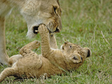 Lion Cub Playing with a Female Adult Lion (Panthera Leo), Masai Mara Game Reserve, Kenya, Africa Photographic Print by Adam Jones