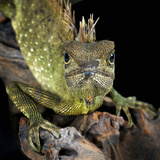 Mountain Horned Dragon (Acanthosaura Armata), Captive Photographic Print by Michael Kern