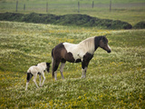 Icelandic Horse with Foal, Iceland Photographic Print by Adam Jones