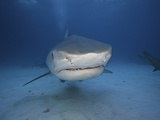 Tiger Shark (Galeocerdo Cuvier), Bahamas, Atlantic Ocean Photographic Print by David Fleetham