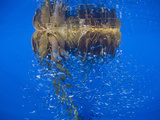 Drifting Giant Kelp (Macrocystis Pyrifera) in the Open Sea Off Attracts Baitfish Photographic Print by Richard Herrmann