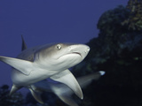 Whitetip Reef Shark (Triaenodon Obesus), Hawaii, USA Photographic Print by David Fleetham