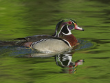 Male Wood Duck, Aix Sponsa Photographic Print by Adam Jones