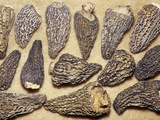 Dried Morel Mushrooms (Morchella) Photographic Print by Ken Lucas