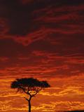 Umbrella Thorn Acacia (Acacia Tortilis) Silhouetted at Sunrise, Masai Mara Game Reserve, Kenya Photographic Print by Adam Jones