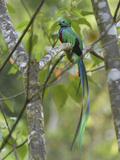 Resplendent Quetzal Male (Pharomachrus Mocinno), Cierro La Muerte, Costa Rica Reproduction photographique par Thomas Marent