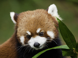 Red Panda (Ailurus Fulgens) Has Small Features Like Cat But the Markings of a Raccoon or Panda Photographic Print by David Fleetham