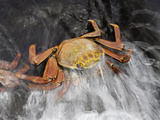 A Wave Washes over a Sally Lightfoot Crab (Graspus Graspus) Searching for Algae Photographic Print by David Fleetham