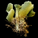 Young Sporophyte of the Fern (Ceratopteris Thalictroides), SEM X45 Photographic Print by Richard Kessel