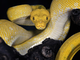 Green Tree Python (Morelia Viridis), Captive Photographic Print by Michael Kern