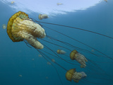 Sea Nettle (Chrysaora Fuscescens), Carmel Bay, Monterey County, California, USA Photographic Print by Richard Herrmann