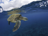 A Green Sea Turtle (Chelonia Mydas) Rests at the Ocean Surface Between Breaths Photographic Print by David Fleetham