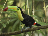 Keel-Billed Toucan (Ramphastos Sulfuratus), Belize Photographic Print by Thomas Marent