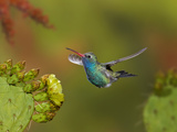 Broad-Billed Hummingbird (Cynanthus Latirostris) Approaching a Prickly Pear Cactus Bloom Photographic Print by Don Grall