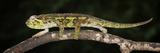 Ukinga Hornless Chameleon (Trioceros Incornutus), Captive Photographic Print by Michael Kern