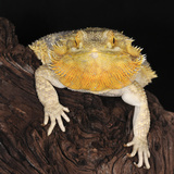 Bearded Dragon (Pogona Vitticeps), Captive Fotografie-Druck von Michael Kern