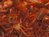 Close Up of Red Pelagic Tuncrabs (Pleuroncodes Planipes) Stranded on a Southern California Beach Photographic Print by Michael Johnson