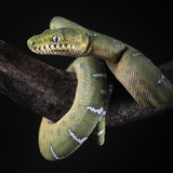 Emereld Tree Boa (Corallus Caninus), Captive Photographic Print by Michael Kern