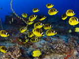 Schooling Raccoon Butterflyfish (Chaetodon Lunula), Hawaii Photographie par David Fleetham