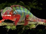 Panther Chameleon (Furcifer Pardalis), Captive Photographic Print by Michael Kern