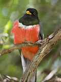 Elegant Trogon Male (Trogon Elegans), Patagonia Lake State Park, Arizona, USA Photographic Print by Don Grall