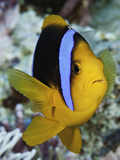 Clark's Anemonefish (Amphiprion Clarkii), Yap, Micronesia Photographic Print by David Fleetham