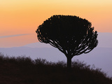 Candelabra Tree (Euphorbia Ingens) Silhouetted at Sunrise, Ngorongoro Crater, Tanzania, Africa Photographic Print by Adam Jones
