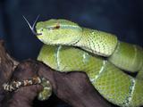Wagler's Pit Viper (Tropidolaemus Wagleri), Captive Photographic Print by Michael Kern