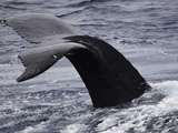 The Fluke Up Dive of a Humpback Whale (Megaptera Novaeangliae), Hawaii, USA Photographic Print by David Fleetham