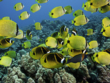A Reef Scene with Schooling Milletseed Butterflyfish, and Raccoon Butterflyfish Photographic Print by David Fleetham